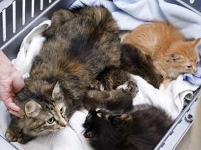 Housecat nurses three bobcat kittens