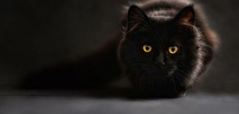Cat Stimulated Stress