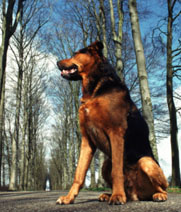 german-shepherd-street