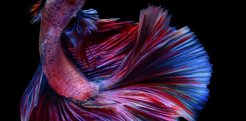 Caring for Your New Betta Fish