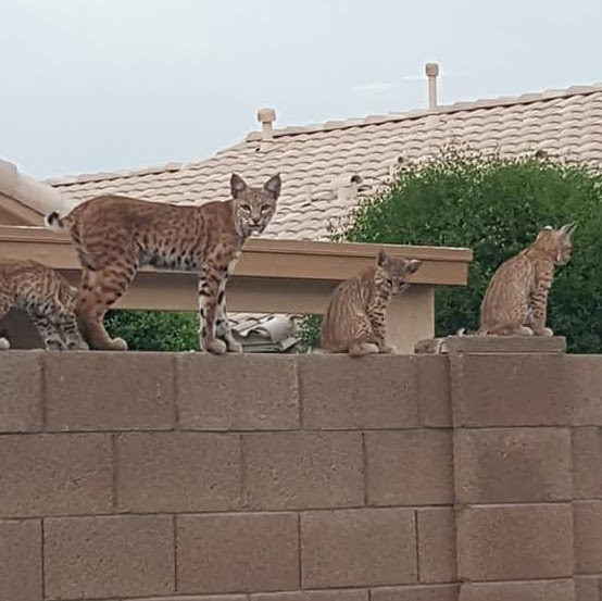 bobcat family on wall