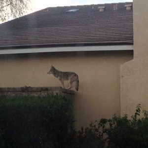 coyote on wall