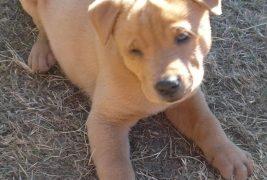 Jake puppy