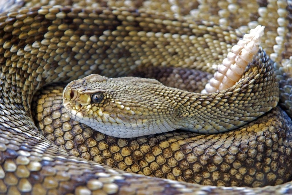 Protect pets from rattlesnakes