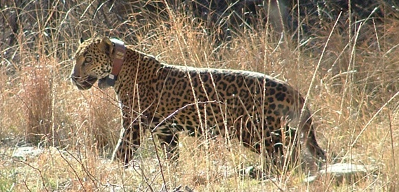 Macho B - once thought to be only living jaguar in United States