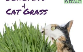 Benefits of cat grass