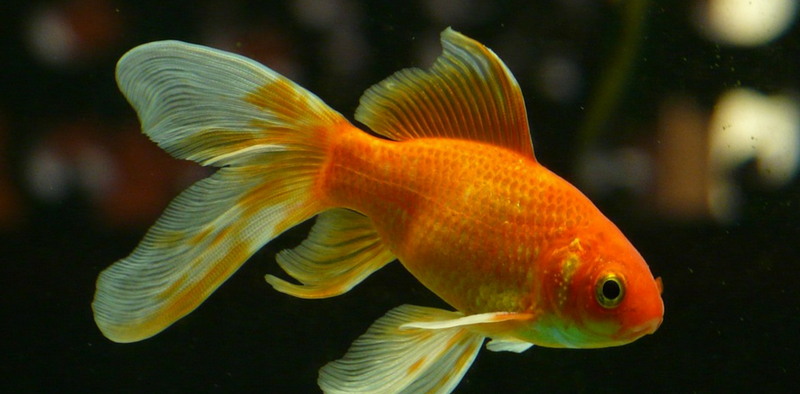easiest fish to care for