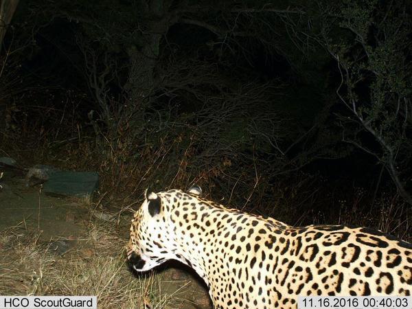 jaguar-azgfd