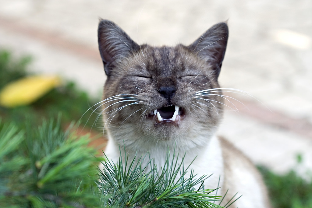 Natural Remedies for Cats Sneezing