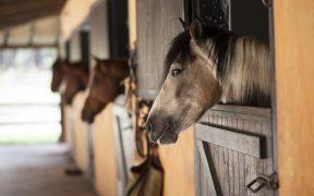 horses in stalls
