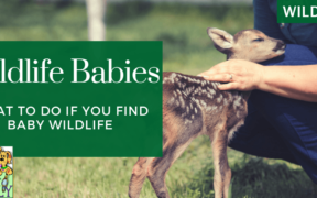 what to do if you find baby wildlife