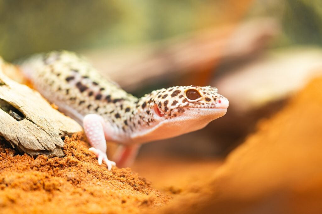 Guide to caring for leopard gecko