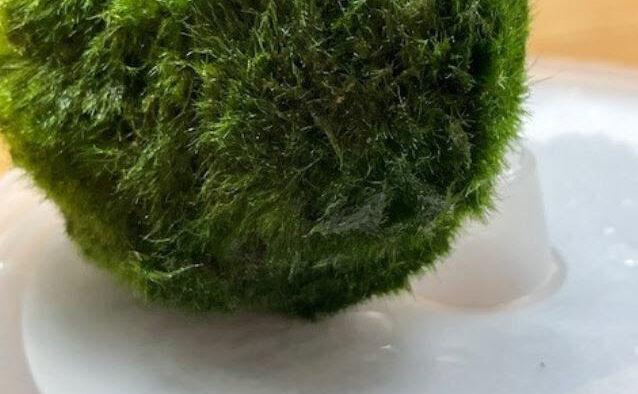 Marino Moss ball